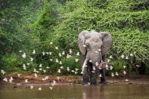 Elefant, safari - Sydafrika - rejser