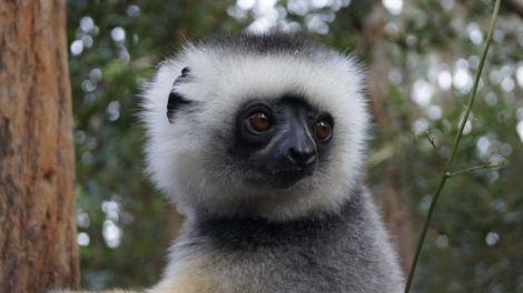 Lemur - Madagaskar - rejser