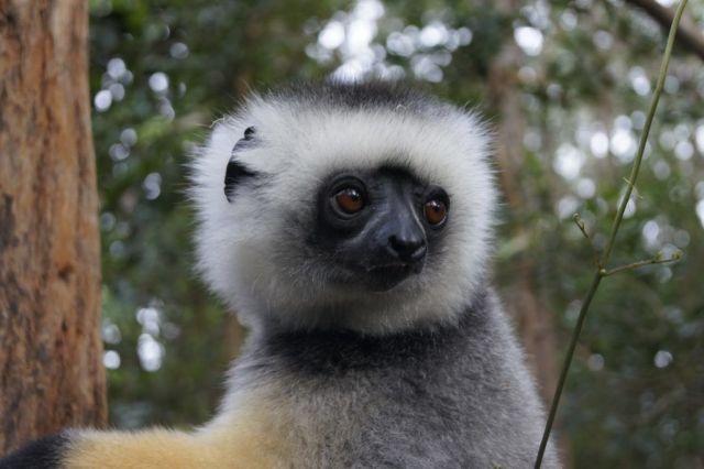 Λεμούρ - Μαδαγασκάρη - ταξίδι