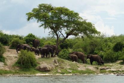 Afrika - Uganda - gorillatrekking - rejser