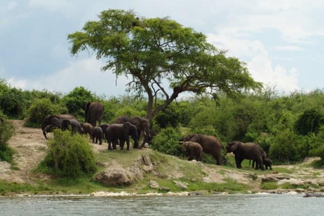 Afrika - Uganda - planinarenje gorilom - putovanja