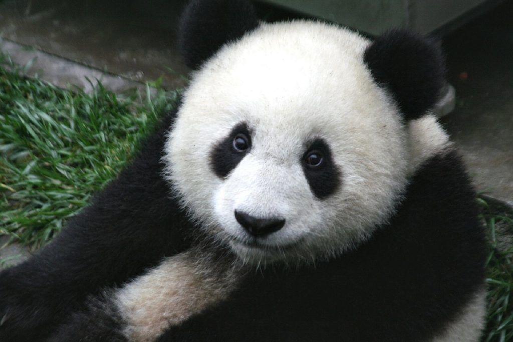 Kina - Panda - Rejser