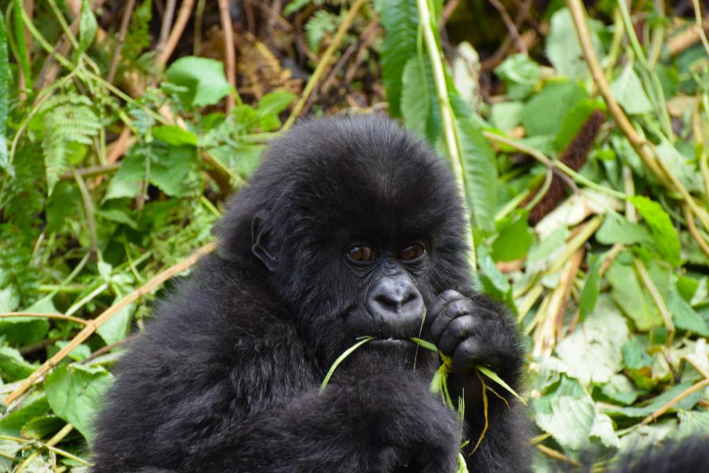 Afrika - Gorilla - resa