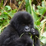 Afríka - Gorilla - Ferðalög
