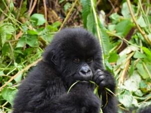 Afrika - Gorilla - reise