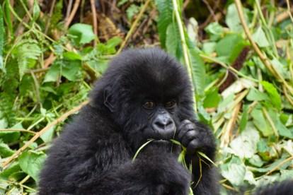Afrika - Gorilla - rejser