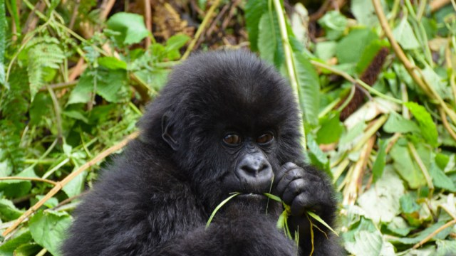 Africa - Gorilla - travel