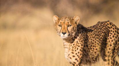 Afryka Kenia Cheetah Cheetah Savannah Safari Travel