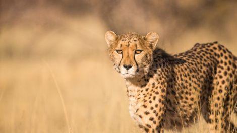 Afrika Kenya Gepard Cheetah Savanne Safari Rejser