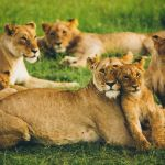 Afríka Kenya Lions Masai Mara Travel