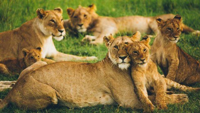 Africa Kenya Lions Masai Mara Travel