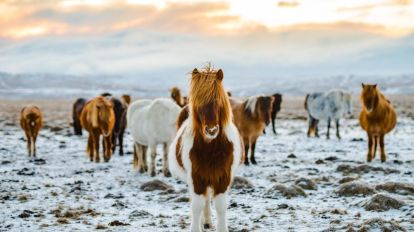 Iceland Horses nature travel