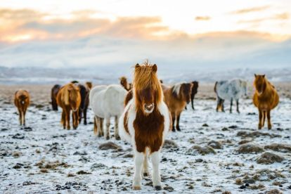 Island Horses naturreiser