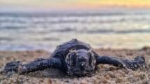 Oman - skildpadde - strand - rejser