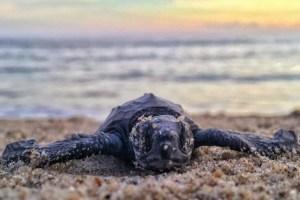 Oman - skildpadde - strand - rejser skildpadder