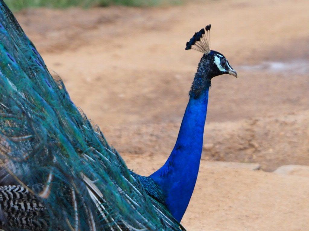 Sri lanka - Yala national park - påfugl - rejser
