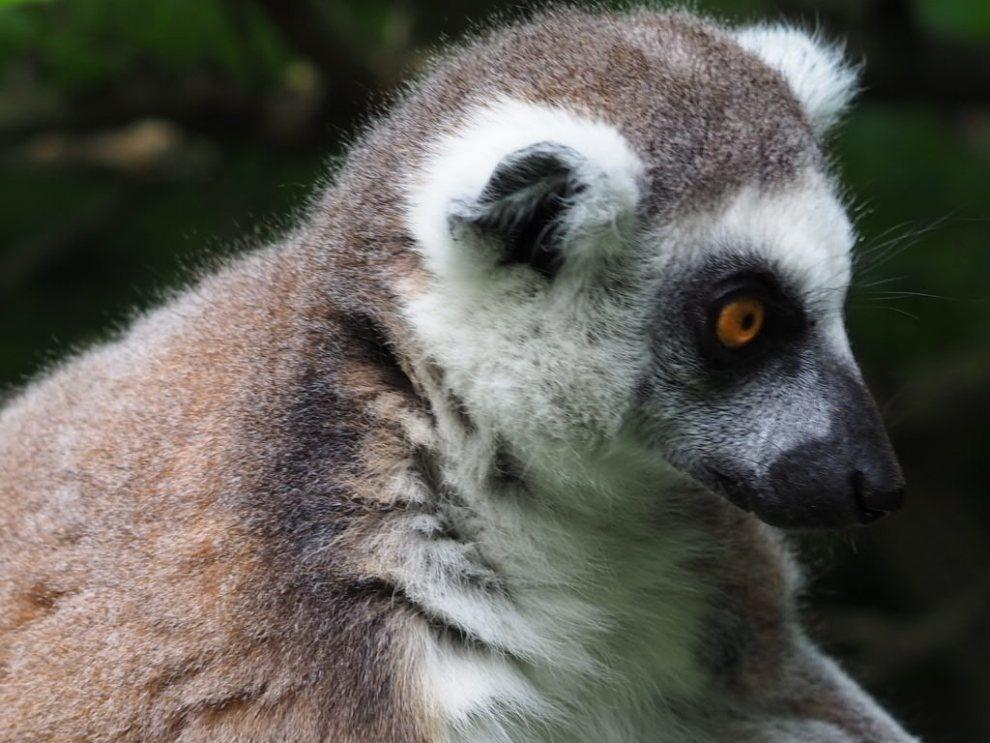 Danimarca - Knuthenborg Safari Park - lemure - viaggio