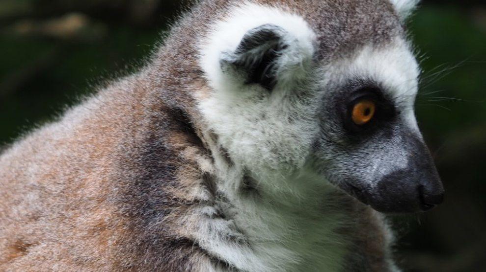 Danmark - Knuthenborg Safaripark - lemur - rejser