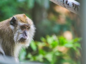 Malezya - Langkawi - Maymun - Hayvanlar - Seyahat