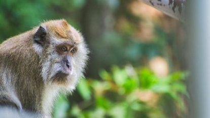 Malezija - Langkawi - Majmun - Životinje - Putovanje
