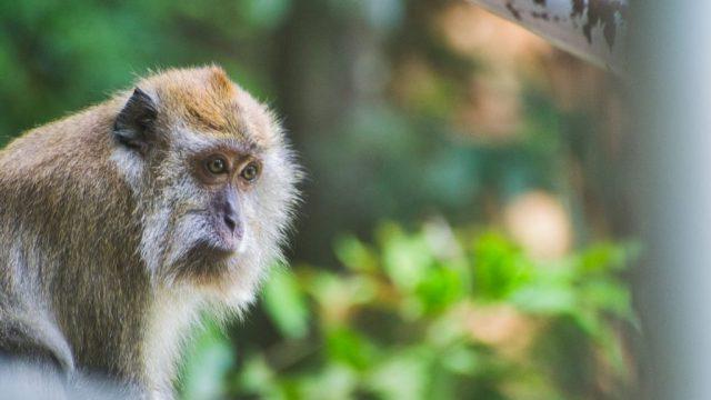 Malaysia - Langkawi - Abe - dyr - Rejser