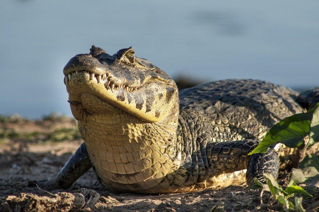Brasilien - Pantanal - Aligator - Rejser - Brasiliens natur , Iguazú