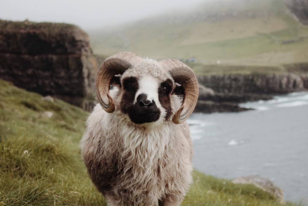 Færøerne - vædder - rejser