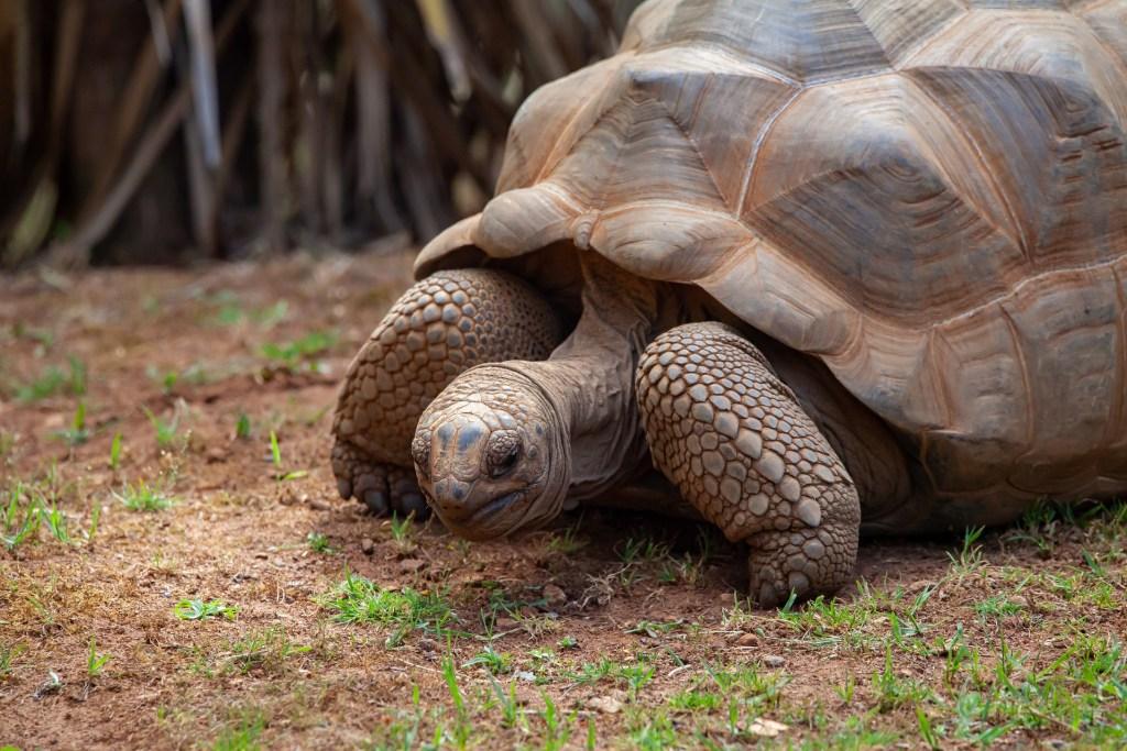 Aldabra - kæmpeskildpadder - Afrika - Prison Island - Turtle Island - Changuu Island -Tanzania