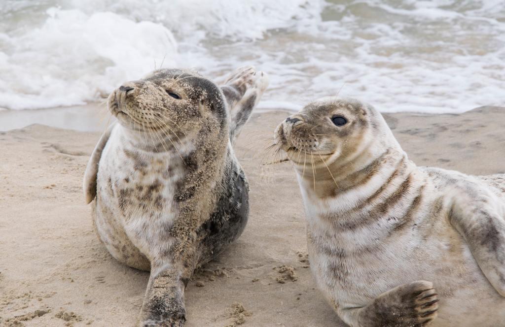 Focas - focas dinamarquesas - mar, água, praia, animais - viagens