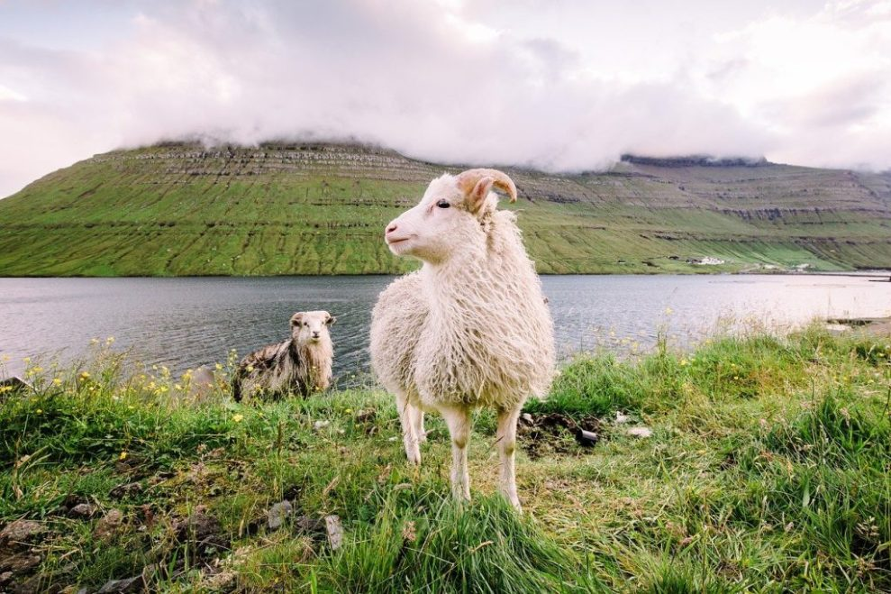Quần đảo Faroe - cừu, cỏ - du lịch