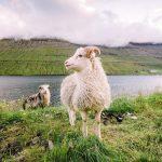 Die Färöer - Schafe, Gras - Reisen