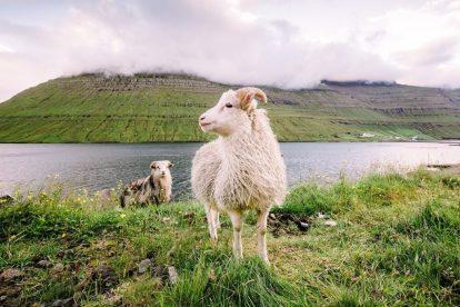 Wyspy Owcze - owce, trawa - podróże