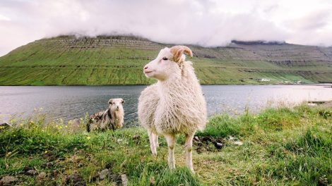 Islas Feroe - ovejas, hierba - viajes