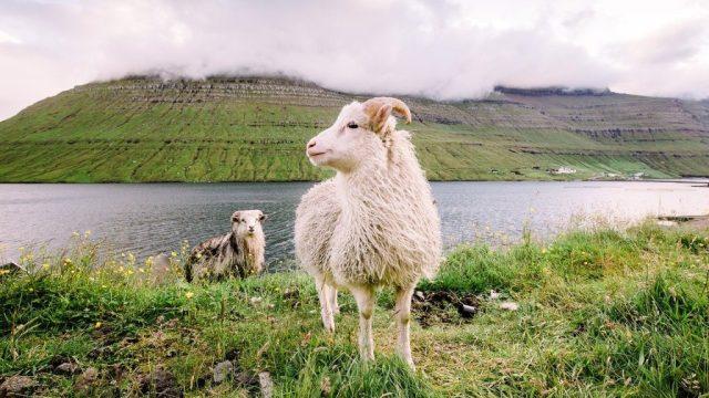 Le Isole Faroe - pecore, erba - viaggi