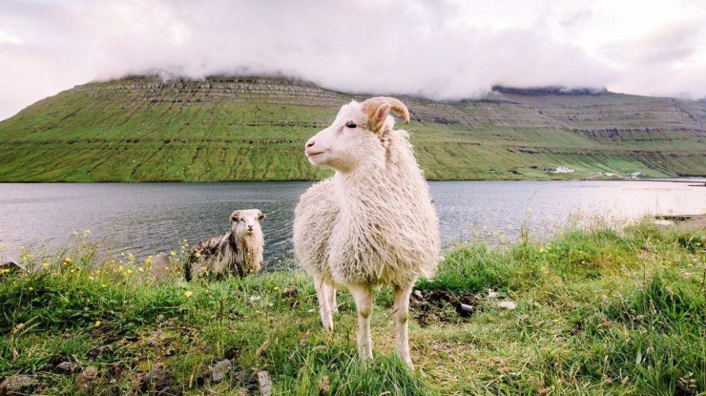 The Faroe Islands - sheep, grass - travel