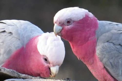 Galah couple eating