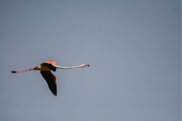 Flamingos fliegen