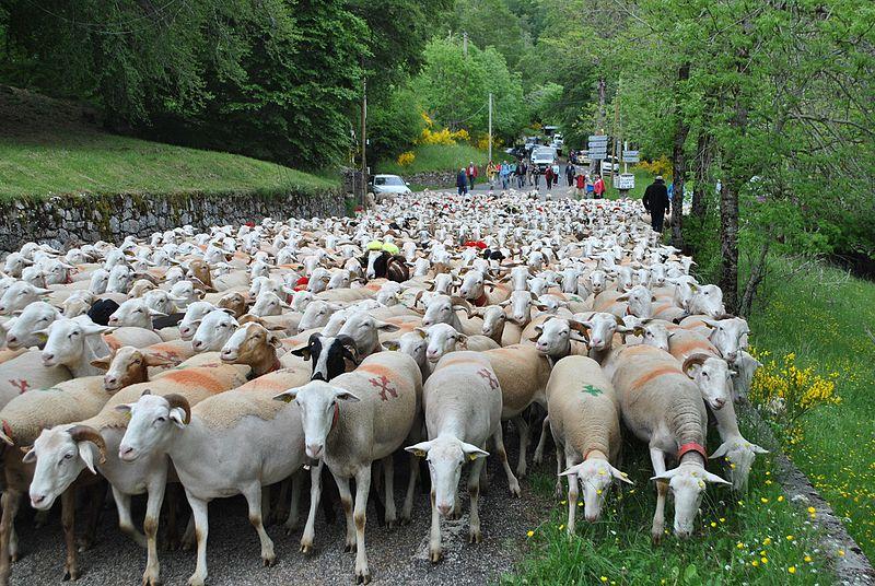 La transhumance des moutons