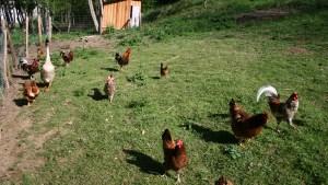 Printemps au Pradau - les poules