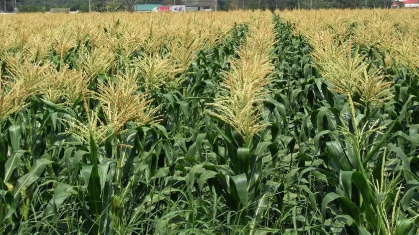 maize farming in Nigeria,maize farming in nigeria pdf,business plan for commercial maize farming in Nigeria,maize farming nairaland,maize farming guide,dry season maize farming in Nigeria,maize farming pdf,late maize planting,business plan for maize farming in nigeria