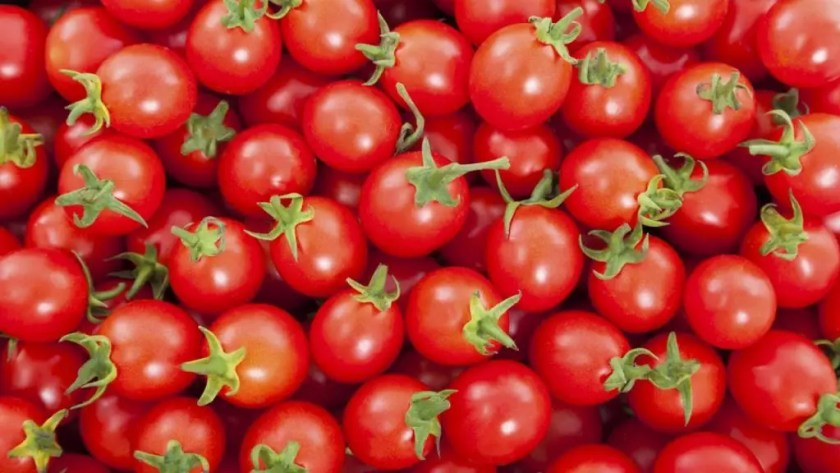 Tomato farming in Nigeria,commercial tomato farming in Nigeria,types of tomatoes grown in Nigeria,tomato farming in nigeria pdf,how profitable is tomato farming in Nigeria,tomato farming guide,tomato yield per hectare in Nigeria,tomato producing states in Nigeria,tomato cultivation and its potential in nigeria