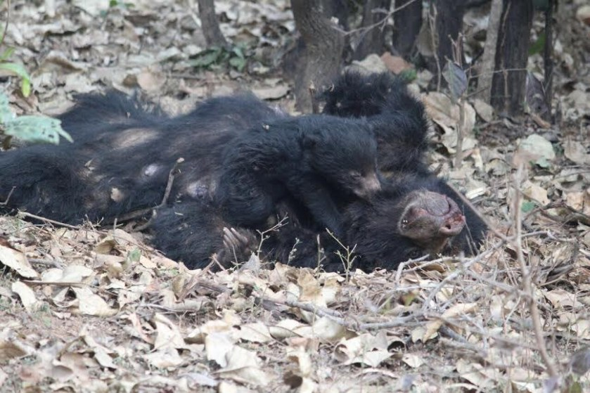 baby bear and dead mother