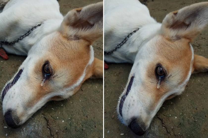 dog killed by thieves