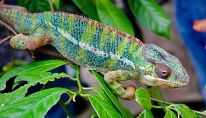 pet movers Hong Kong - chameleon
