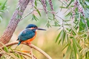 Kingfisher bird.