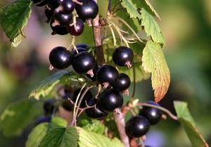 cassis-fruit