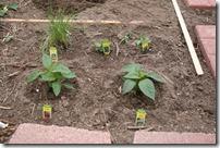 planting garden (6)