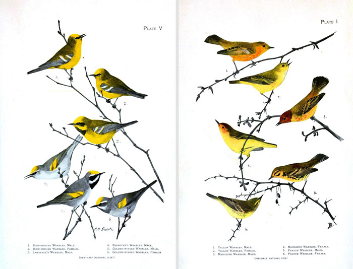 photograph regarding Printable Birds known as Remodelaholic 25 No cost Traditional Hen Printable Shots