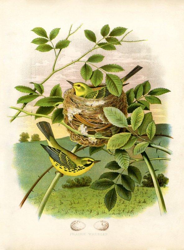 Over 25 Free Vintage Bird Printable Images | Remodelaholic.com #art #free #printable
