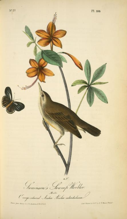vintage Audubon print orange warbler bird NYPL